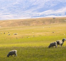 13-Region_Otago_moutons_champs_NZ_Terra-Tributa